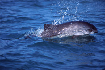 Harbor Porpoise.  Photo:  Ari Friedlaender