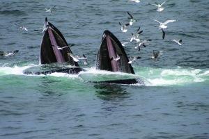 Feeding Humpback Whales.  Photo:  WDC