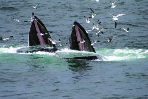 Feeding Humpback Whales.  Photo:  WDC