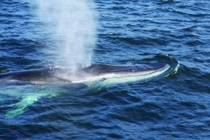Fin Whale.  Photo:  WDC