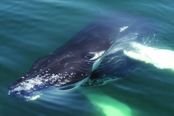 Humpback Whale.  Photo:  WDC