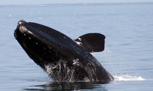 North Atlantic Right Whale.  Photo:  WDC