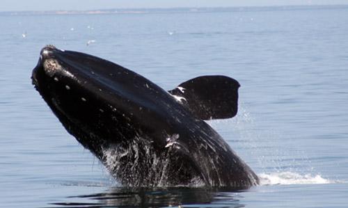 North Atlantic Right Whale.  Photo:  WDC