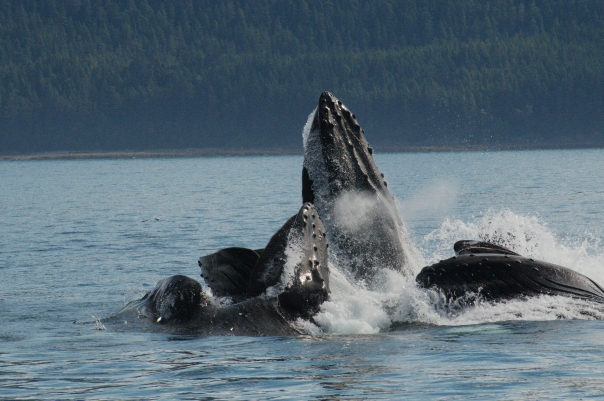 humpbacks-feeding.jpg