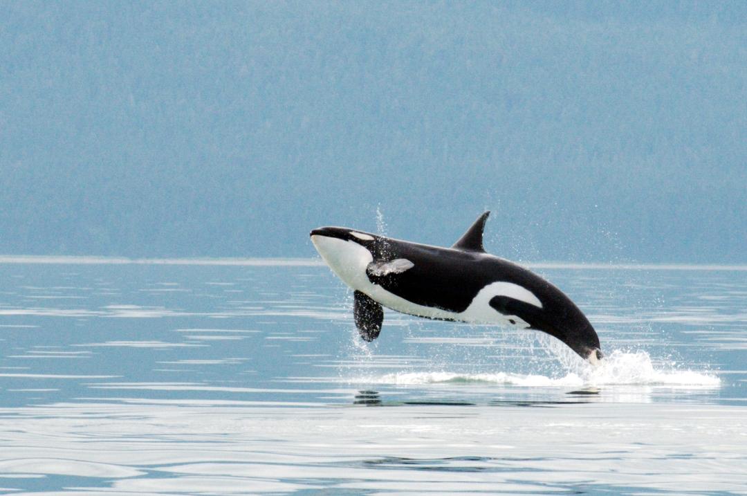 breaching orca- NMFS