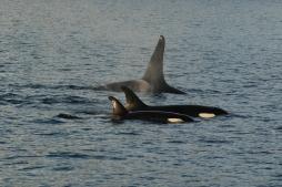 orca pod- NMFS