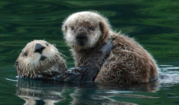 mom_and_pup sea otter-FWS