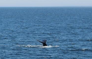 humpback-fluke-j-schwerzmann